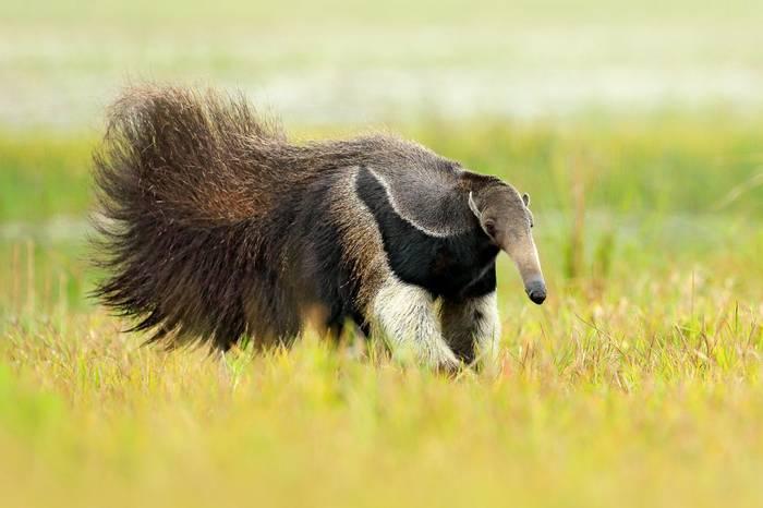 Giant Anteater, Brazil Shutterstock 1043519422