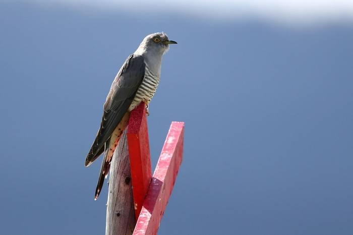 Cuckoo (Gordon Small)