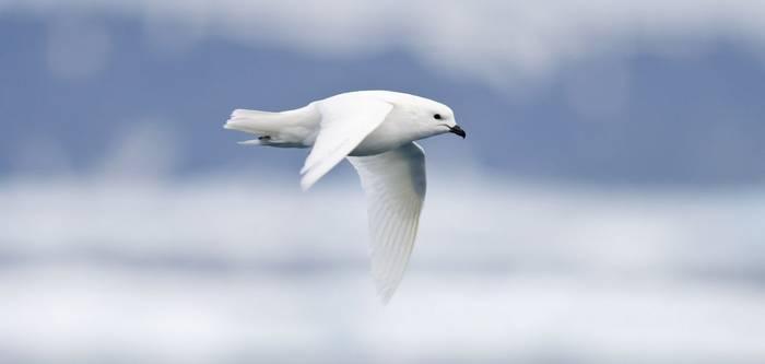 Snow Petrel   Antarctica,Shutterstock 26254570