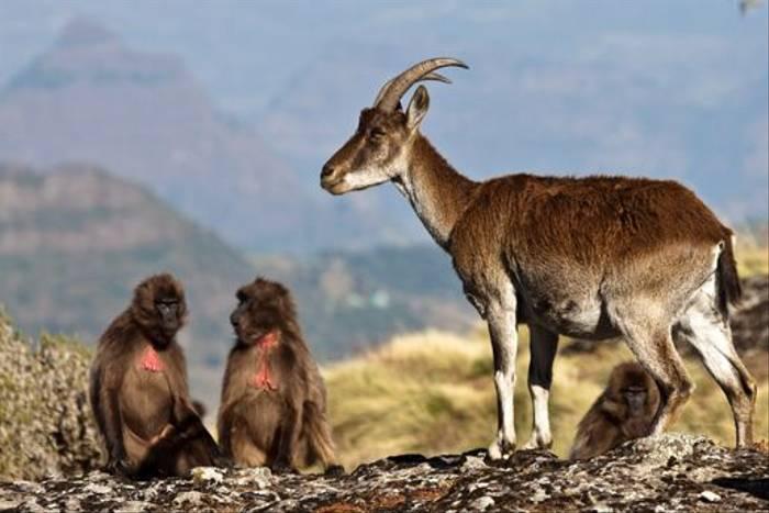 Walia Ibex & Gelada Baboons (Dani Free)