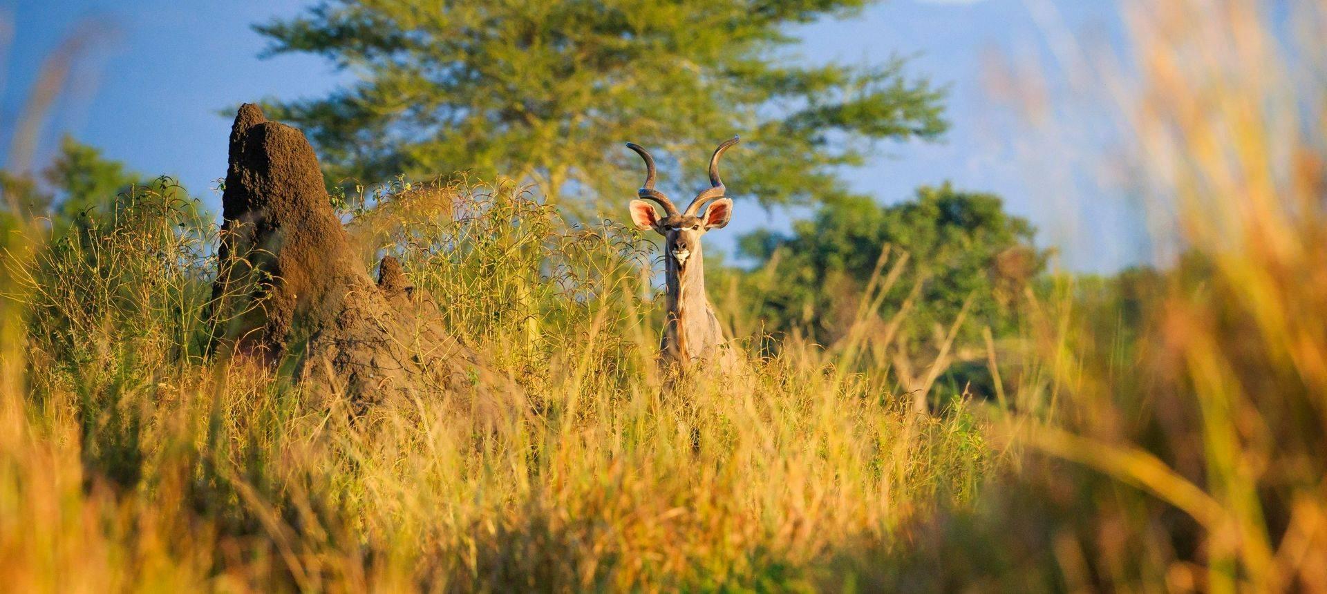 Kudu, Lowonde National Park, Malawi Shutterstock 1098821195