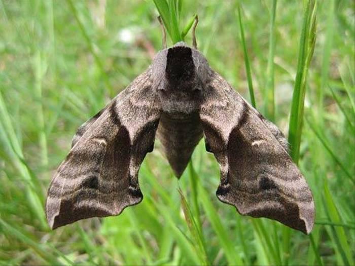 Eyed Hawk-moth (Daniel Green)