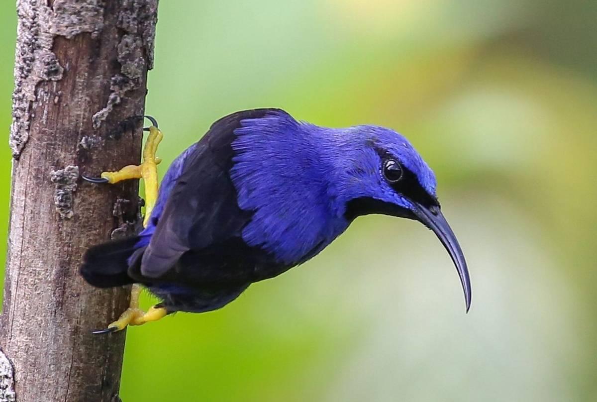 Purple Honeycreeper (Peter Dunn)