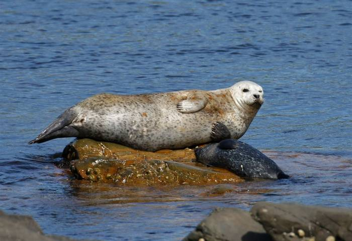 Harbour Seal (Matt Eade).JPG