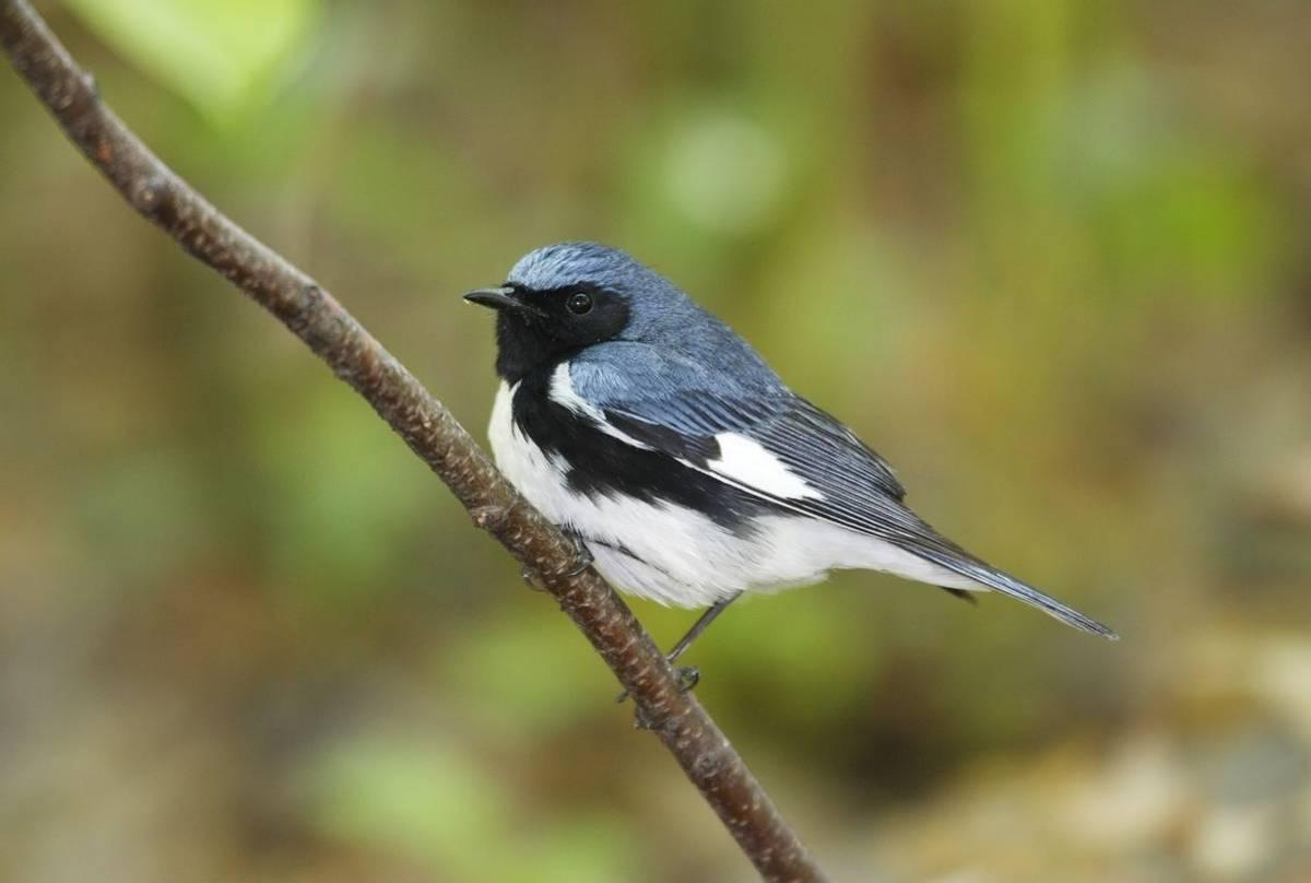 Black-throated Blue Warbler, USA shutterstock_40362259.jpg