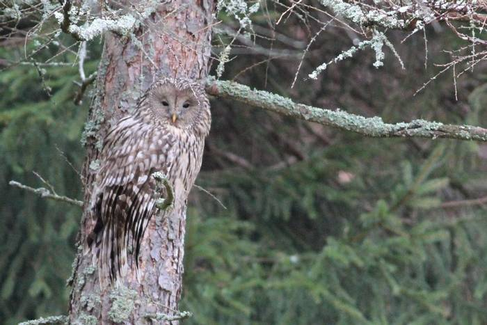 Ural Owl (Jan Kelchtermans)