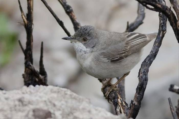 Ruppel's Warbler by Mick Doyle