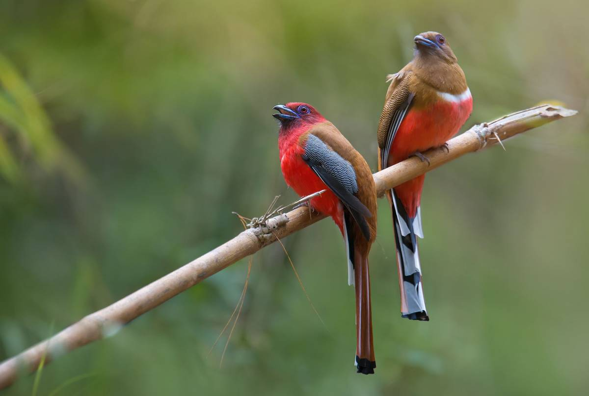 Red-headed-Trogons-shutterstock_500587876.jpg