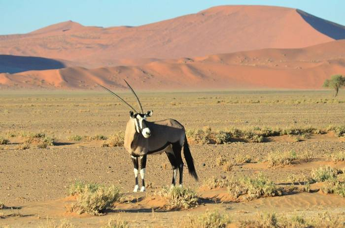 Oryx, Namibia (David Phillips)