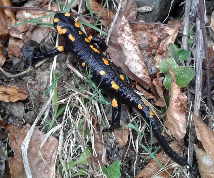 Fire Salamander (Tom Mabbett)