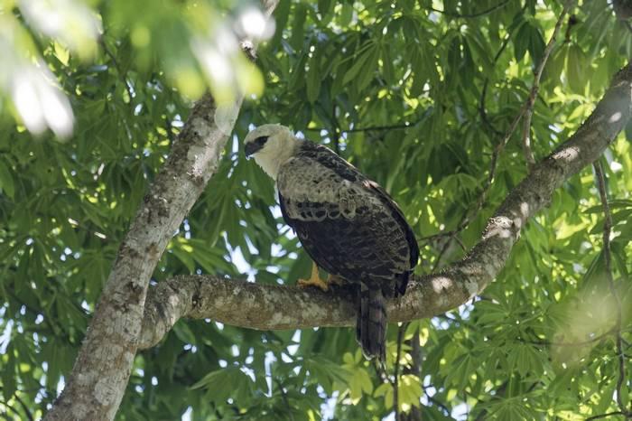 Crested Eagle (Fernando Alba, Canopy Family)