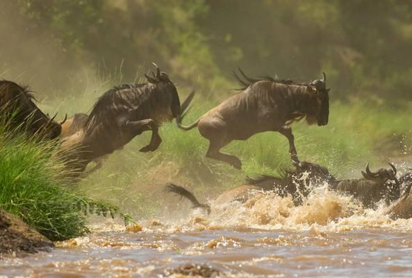 Tanzania (Blue Wildebeest)