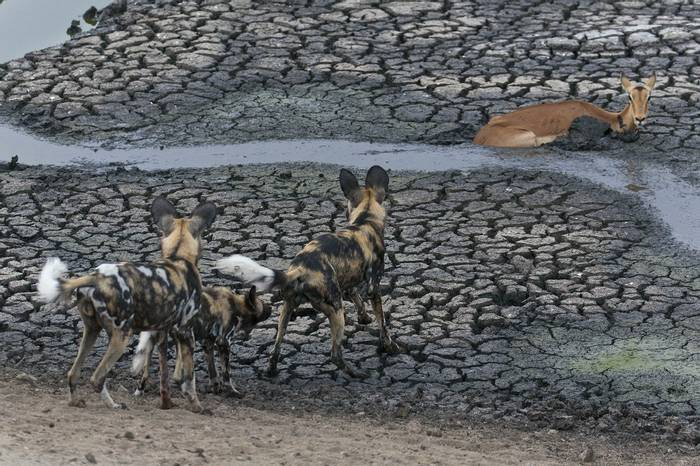 African Wild Dogs (Leon Marais)
