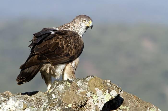 Bonelli's Eagle shutterstock_514004002.jpg