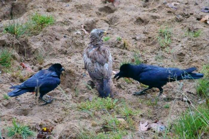 Crows mobbing a Crested Serpent Eagle, Kanha (Chris Hutchinson)