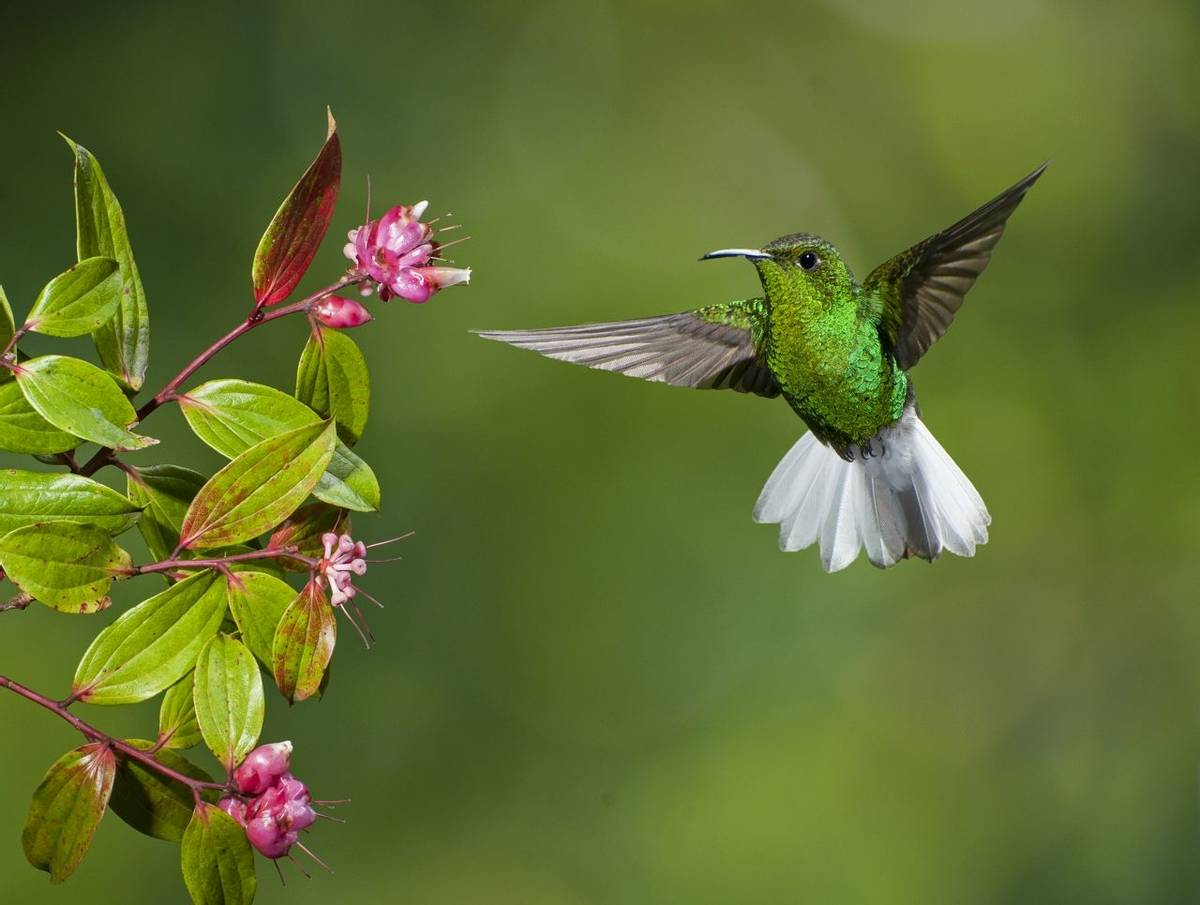 Coppery Headed Emerald Hummingbird, Costa Rica Shutterstock 126688313