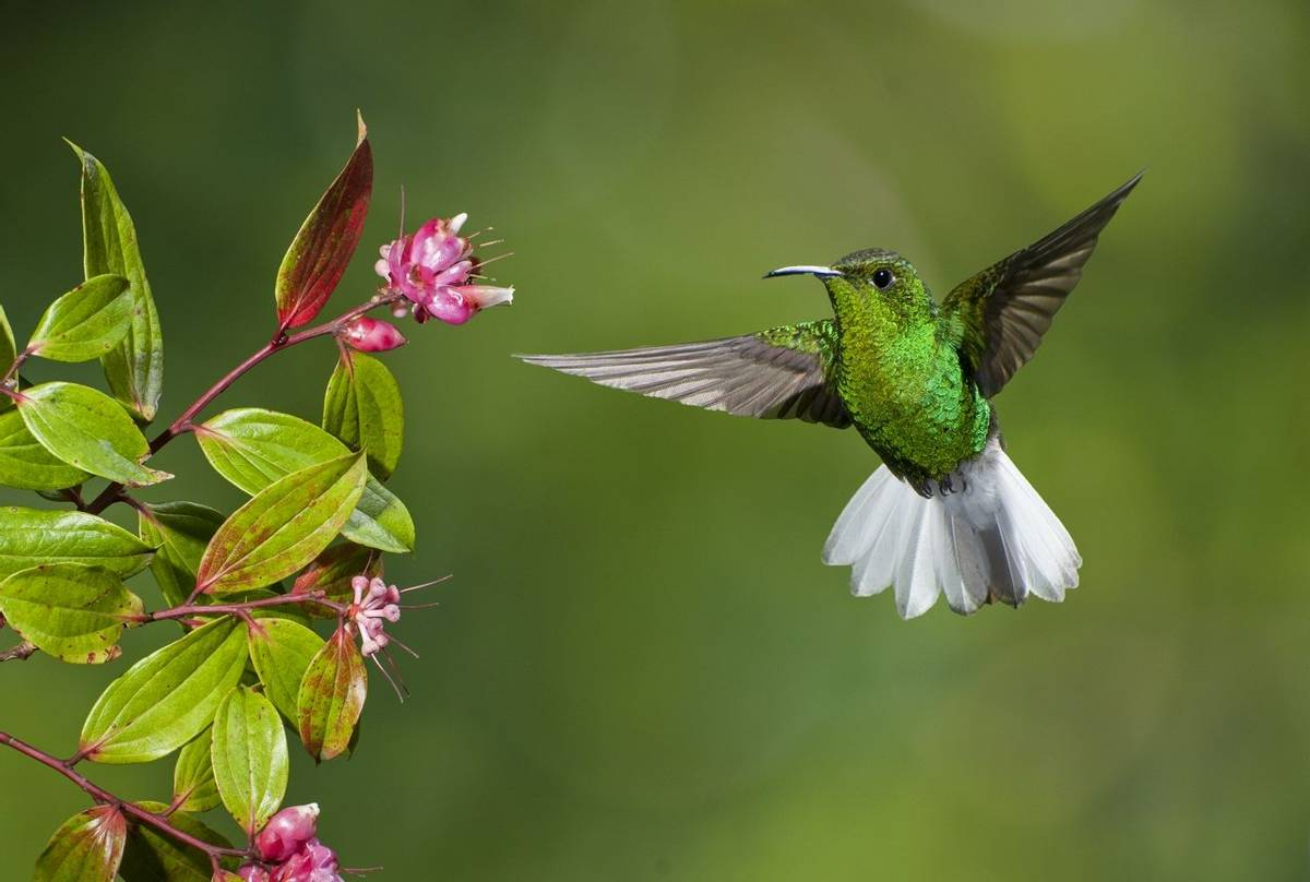 Coppery Headed Emerald Hummingbird, Costa Rica Shutterstock 126688313