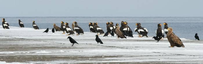 Steller's Sea Eagles Rausu