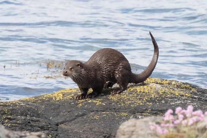 Otter2 (Chris Hutchinson).jpg