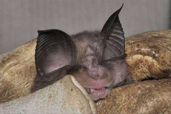 Mediterranean Horseshoe Bat (Jon Stokes)