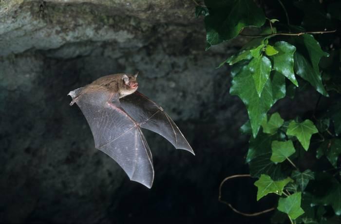 Daubenton's Bat shutterstock_1293567133.jpg