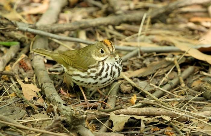 Ovenbird (James Lees)