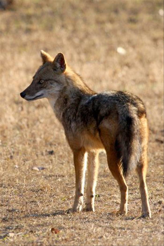 Golden Jackal (Michael Haley)