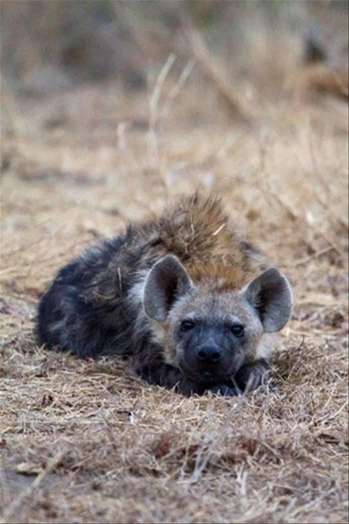 Hyena Portrait (Leon Marais)