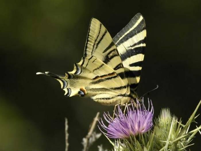 Scarce Swallowtail (Matt Hobbs)