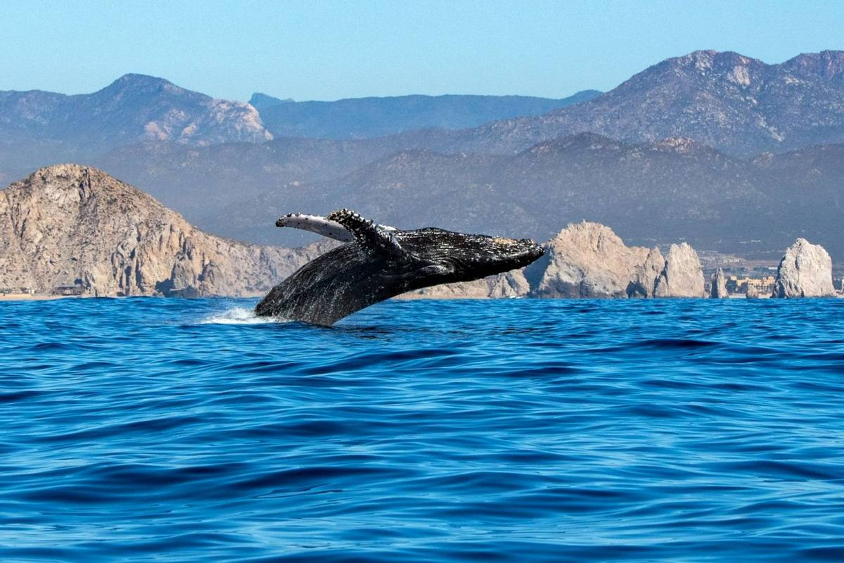 Humpback Whale, Baja California, Mexico Shutterstock 1015019911