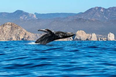Humpback Whale, Mexico