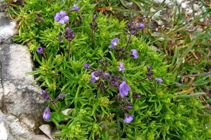 Veronica aphylla (Lis Allen)