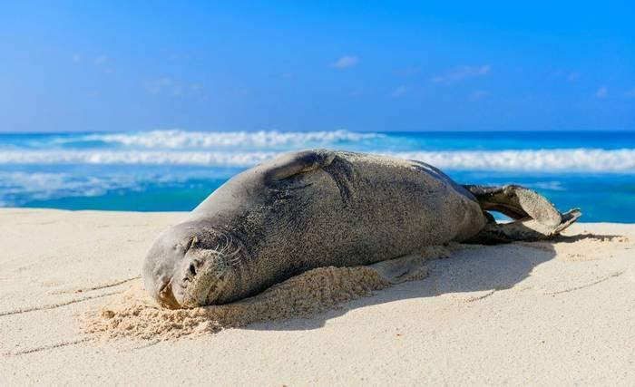 Hawaiian Monk Seal, Hawaii, North America shutterstock_1168462210.jpg