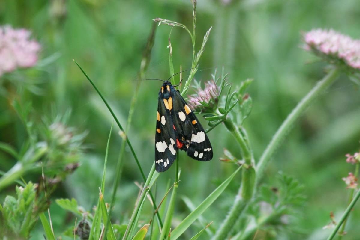 Scarlet_Tiger_Moth.jpg