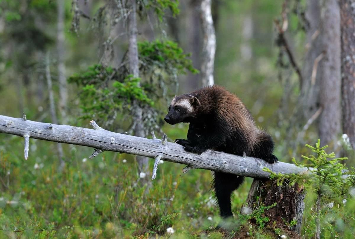 Wolverine. Shutterstock 108012674