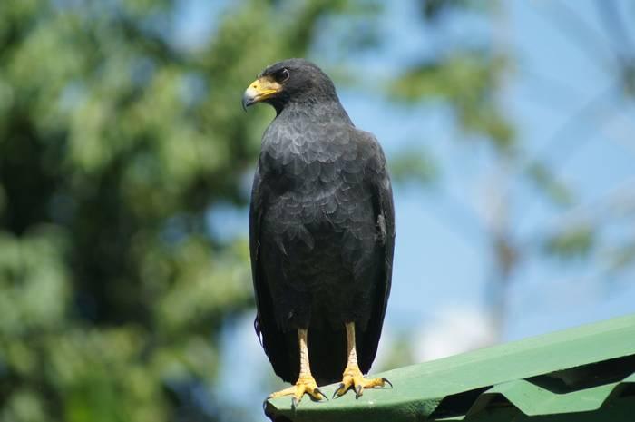Common Black Hawk (Brian West)