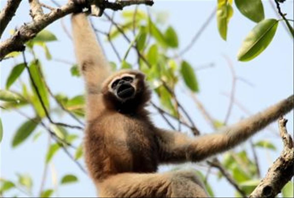 Female Hoolock Gibbon (Bret Charman)