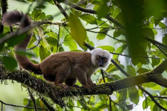 White-headed Lemur, Madagascar shutterstock_518569906.jpg