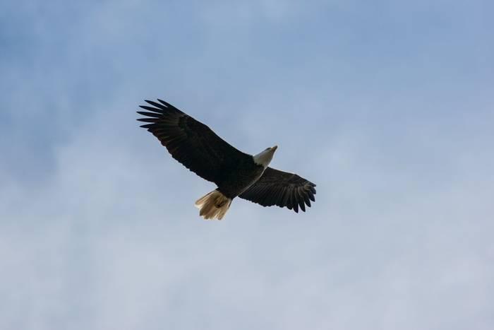 Bald Eagle, USA shutterstock_794529091.jpg