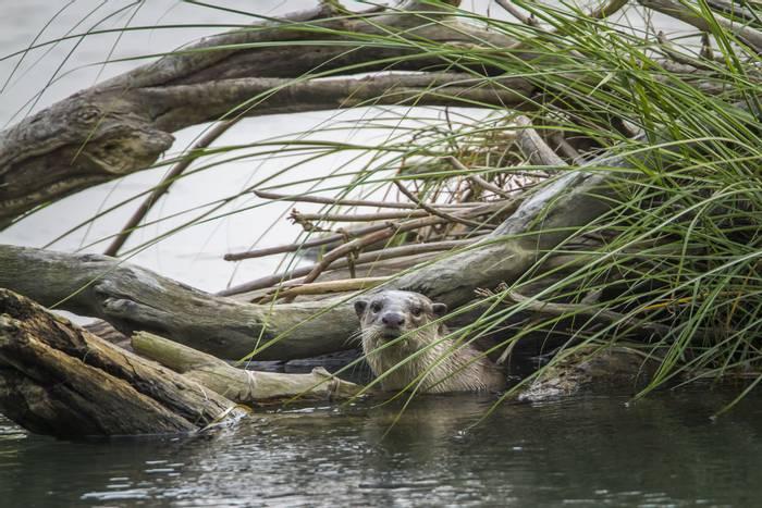 Smooth-coated Otter, Bardia National Park, Nepal shutterstock_464173286.jpg