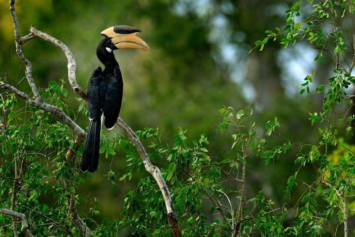 Malabar Pied Hornbill, india shutterstock_562183333.jpg