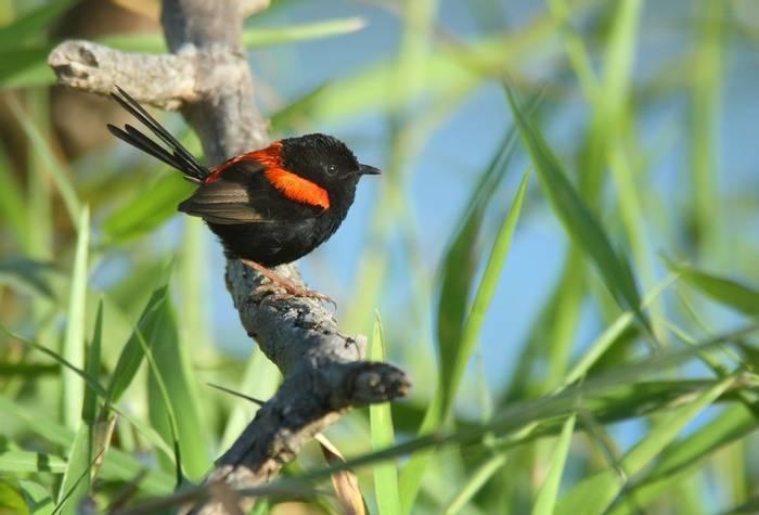 Red-backed Fairy-wren, Australia shutterstock_445389862.jpg