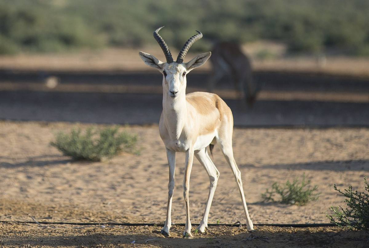 Goitered-Gazelle,-Kazakhstan-shutterstock_528251686.jpg