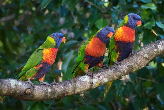 Rainbow Lorikeets, Raja Ampat shutterstock_686507596.jpg