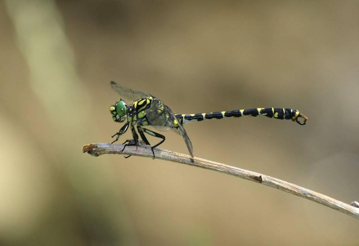 Small Pincertail Dragonfly Shutterstock 27783046