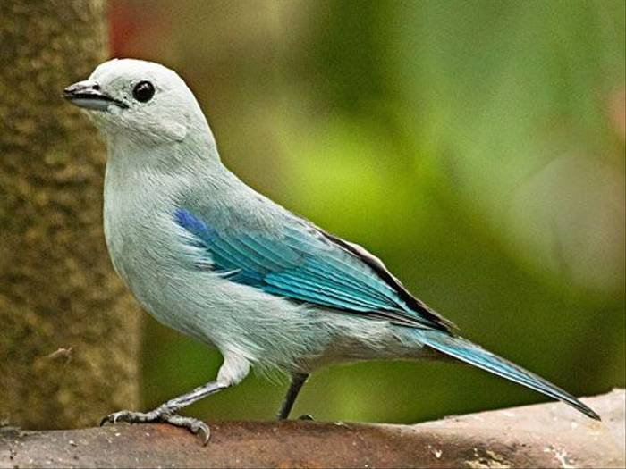 Blue-Grey Tanager (Ann Chase)