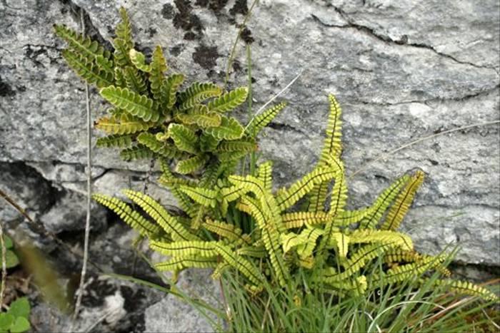 Ferns at Capanwallah (Maureen Ponting)
