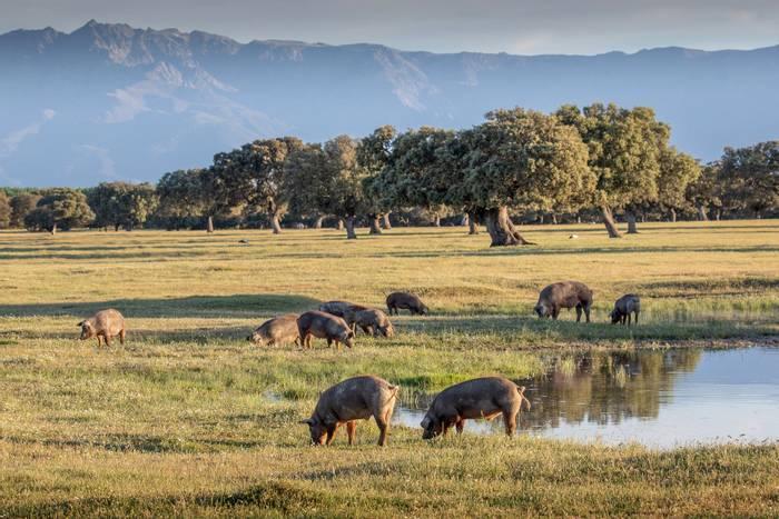 Iberian Pigs, Extremadura, Spain  shutterstock_1400057183.jpg