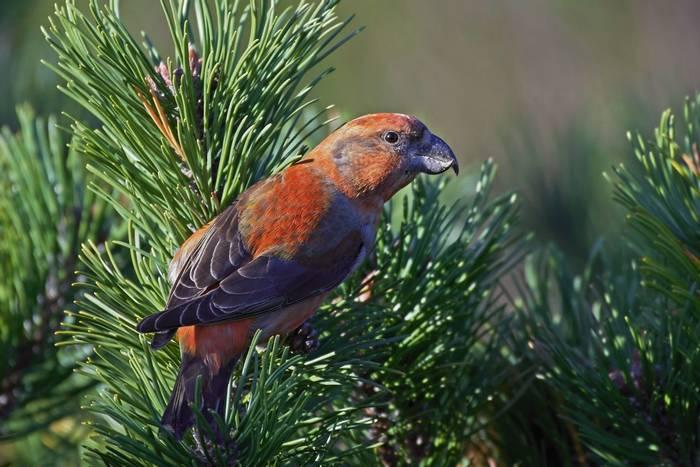 Parrot Crossbill, Scotland shutterstock_754034017.jpg