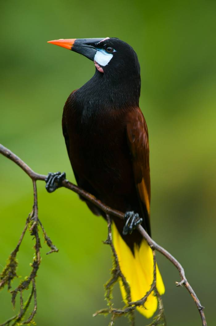 Montezuma Oropendola, Costa Rica (Eduardo Rivero).jpg